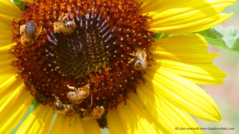 Bees on a sunflower close up