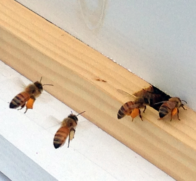 bees at the hive entrance with big fat pollen legs
