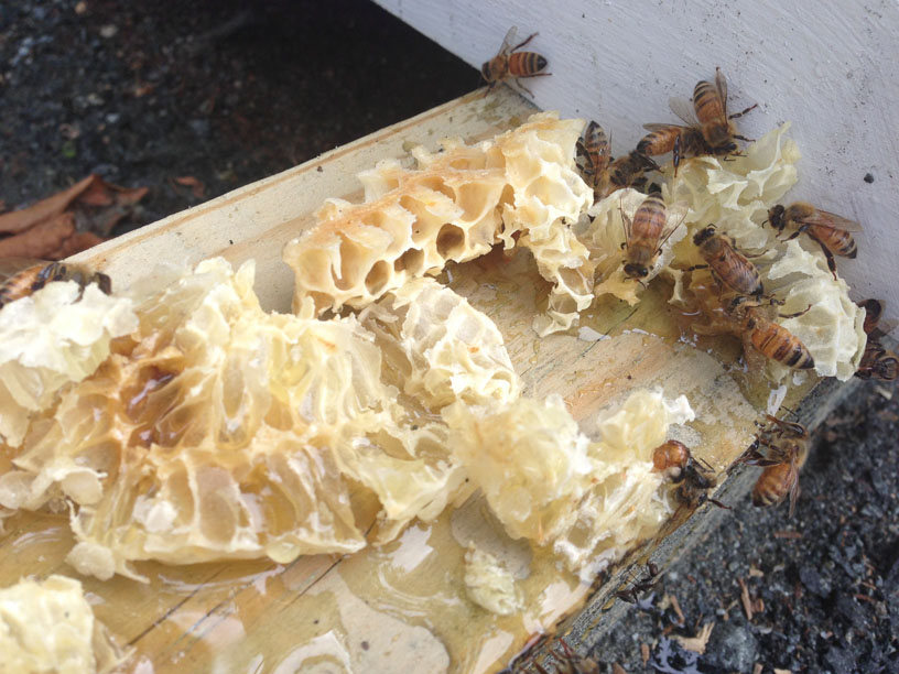 Bees lapping up honey running out of newly removed burr comb from the hive on Chesterhaven Beach Farm