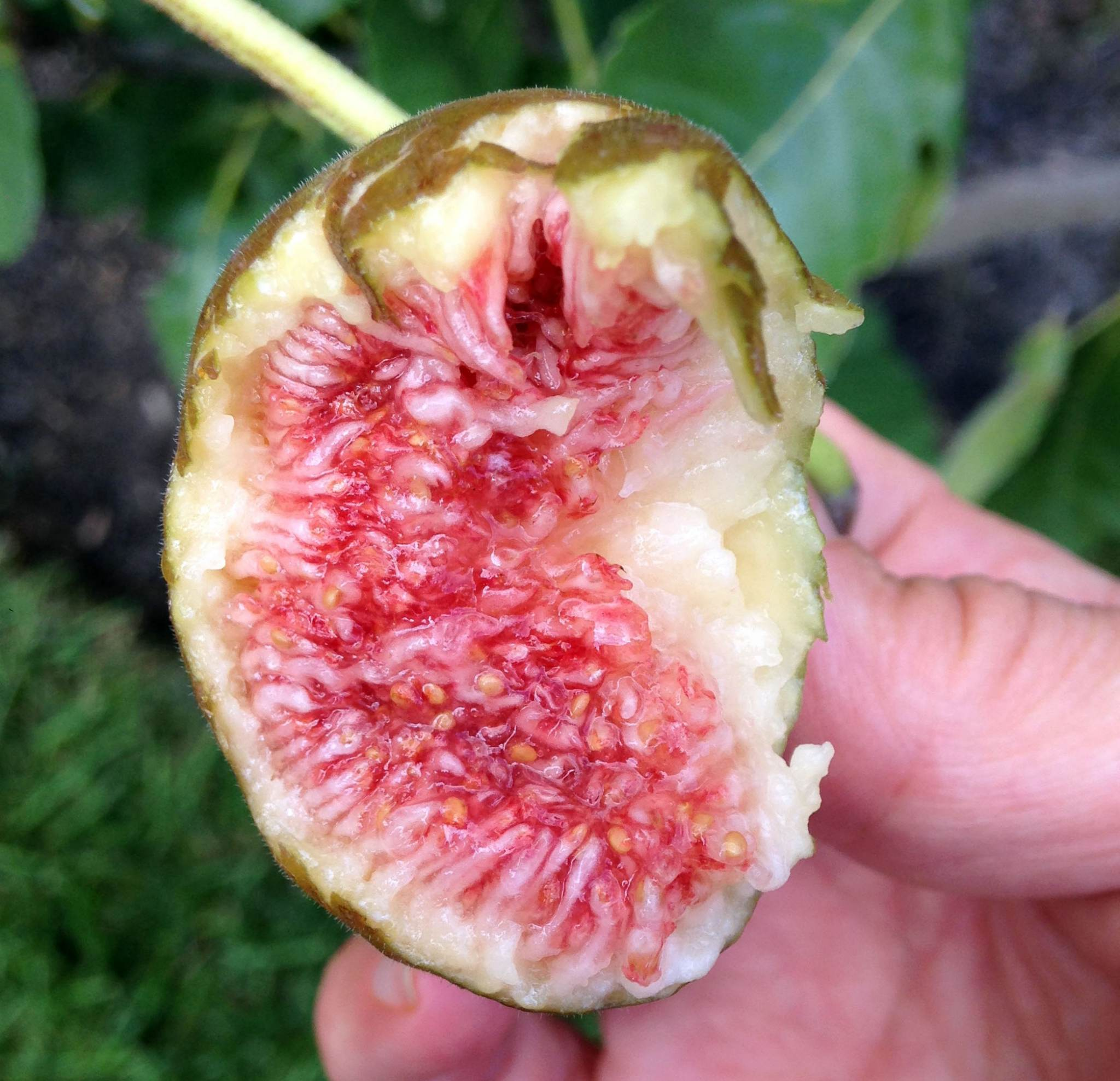 Eating Figs on Chesterhaven Beach Farm