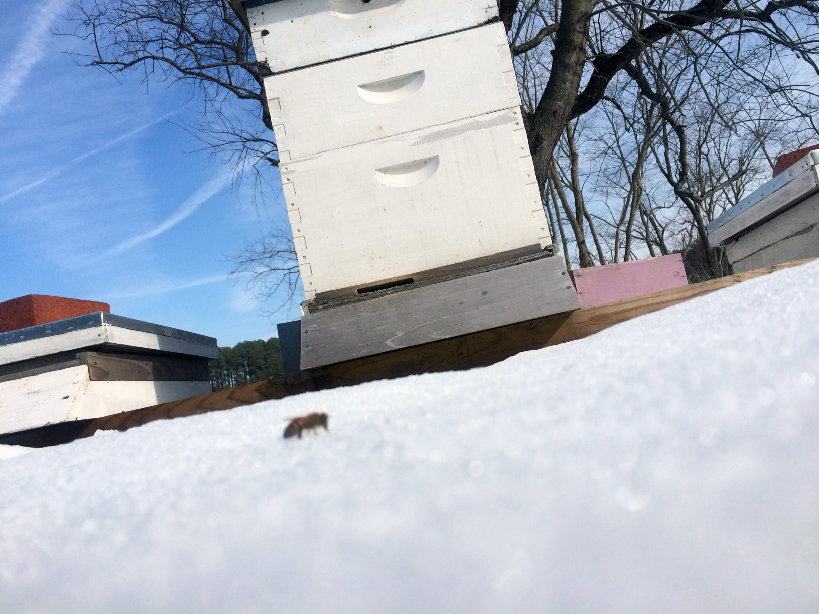 lone snow bee outside the hive in winter