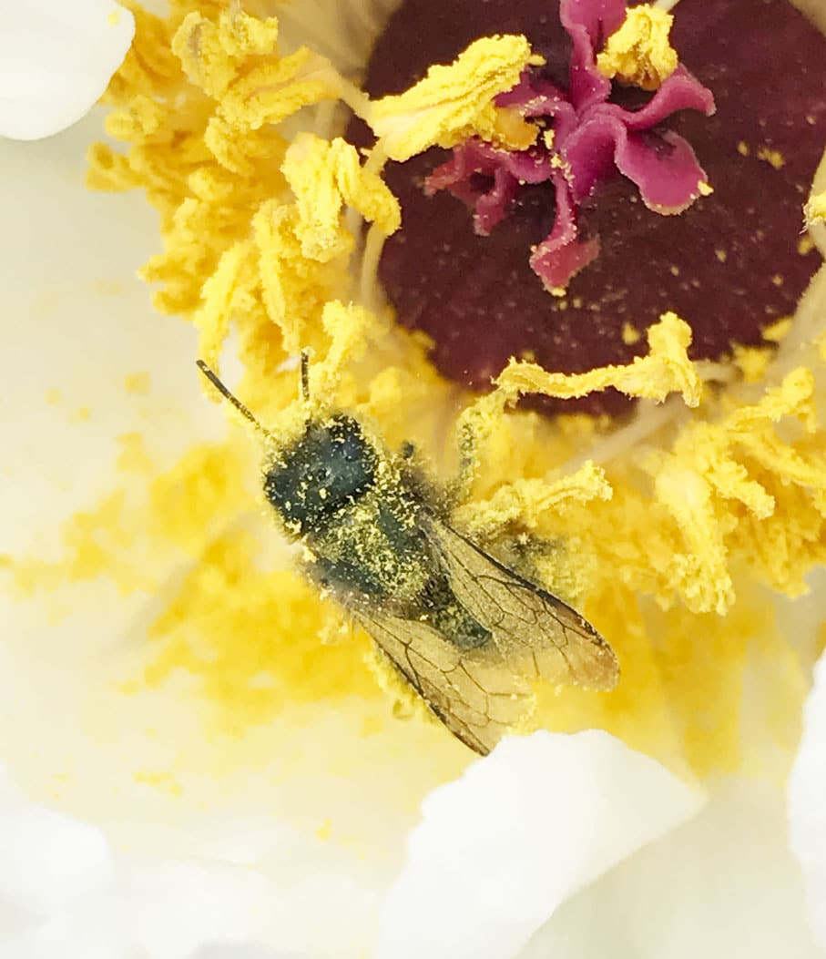 Bee Pollinating a flower covered in pollen in late spring