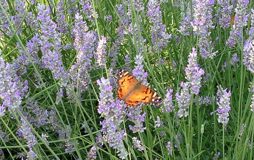 Lavender in bloom with monarch butterfly in pollinator garden