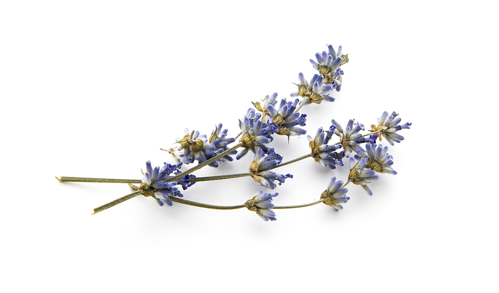 sprig of dry lavender for making tea and beauty products