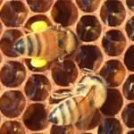 Bees with Pollen Legs