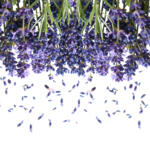 Dried lavender flowers can be used in a variety of ways. One of my favorites to-dos is a lavender body oil perfect for soothing sore muscles and irritated skin and provides a scent that will relax both mind and body. Lavender Tonic is not difficult to make you will need thirty minutes of time to complete this project from start to finish.