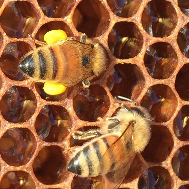 bees with pollen legs storing pollen and nector in a frame of comb