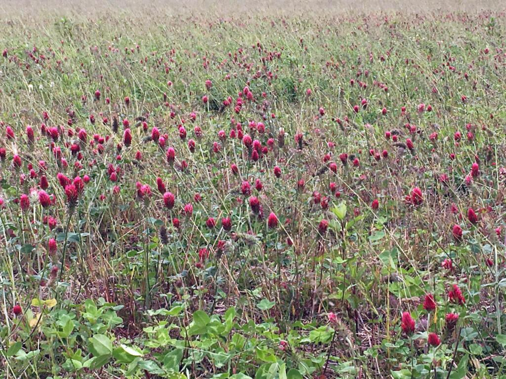 Clover blend field in our apiary