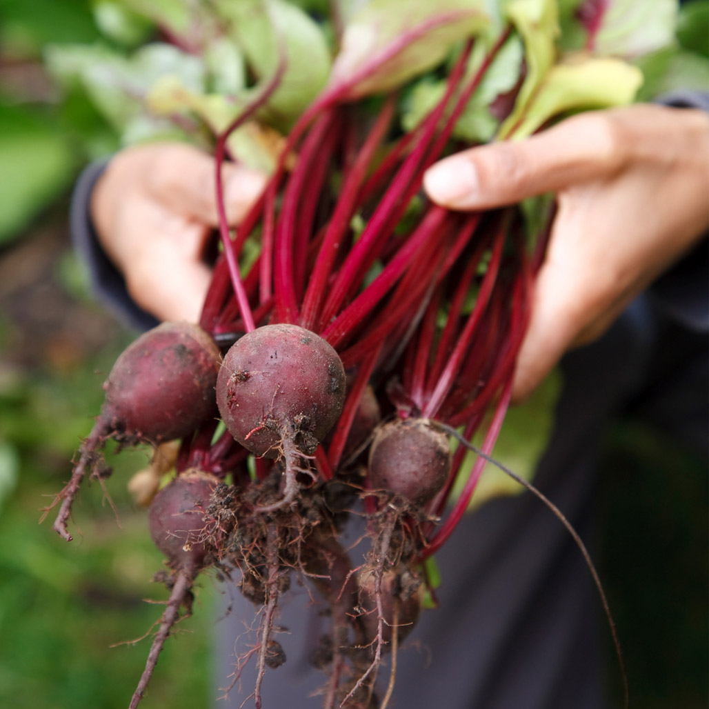 Fresh-picked beets from the garden on Maryland's Eastern Shore especially for beetroot brownies
