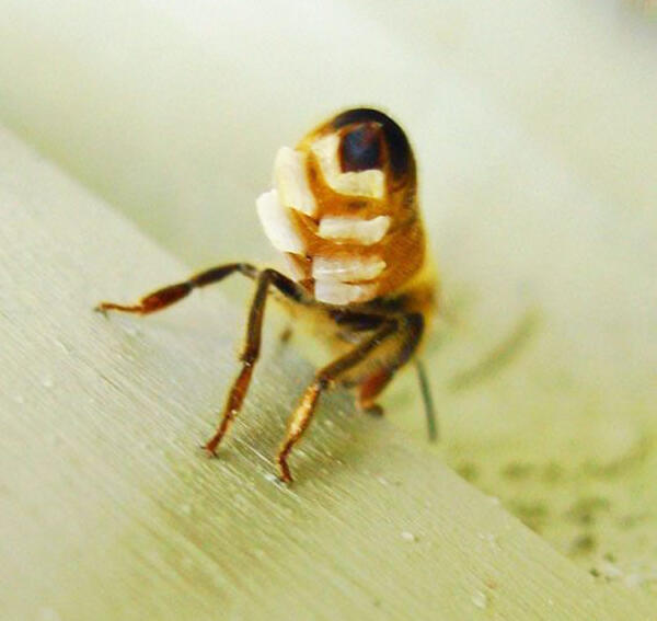 Where does beeswax come from? Photo credit Debbe Krape via honeybeesuite.com