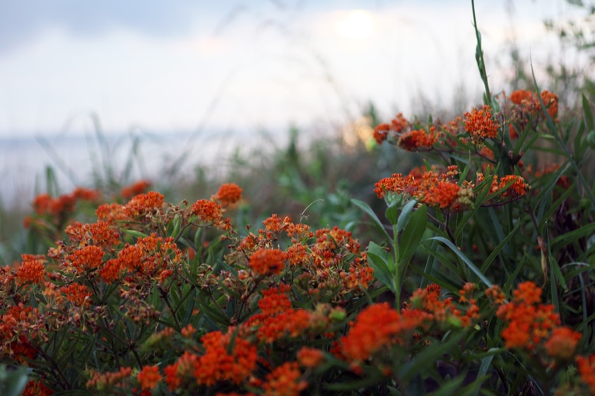 Butterfly weed, a type of milkweed, that grows near the water on our farm.