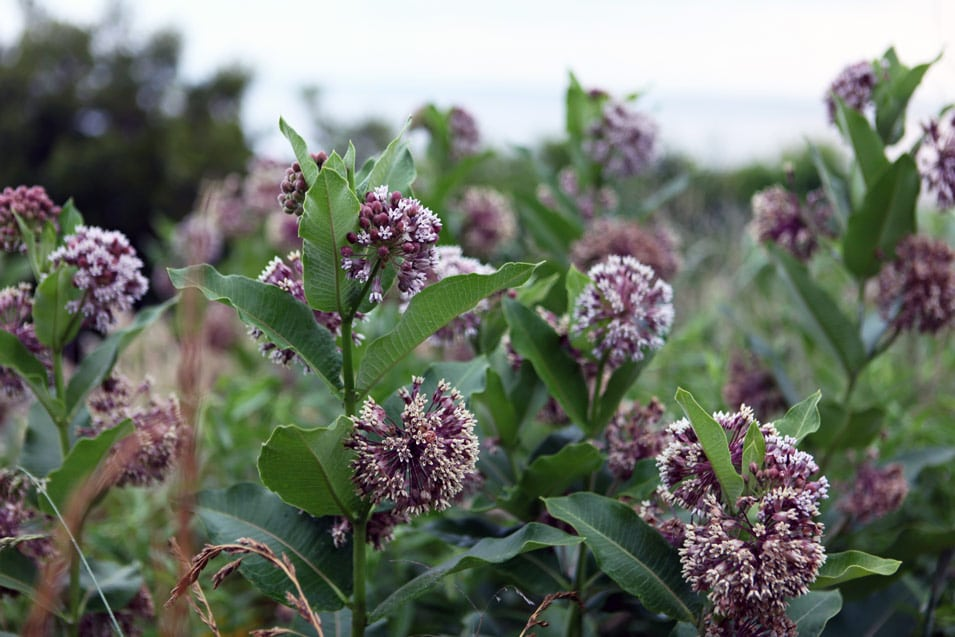 A huge patch of milkweed on the farm from the summer of 2017.