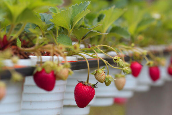 Hanging pots with strawberries