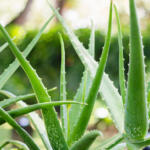 Growing aloe vera in your garden