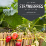 Growing Strawberries Tall Pin