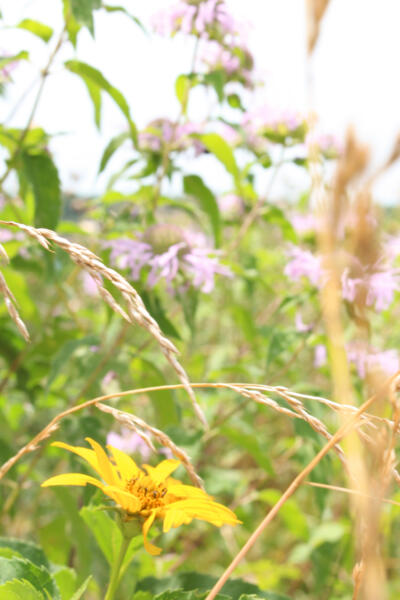 Eastern Shore wildflowers give a source of food to the wildlife on the farm.