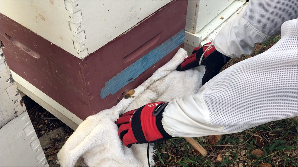 Gloved hands covering the entrance of the hive with a towel during oxalic acid treatment for varroa mites