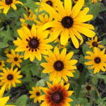 Black Eyed Susans are the state flower of Maryland, and are a common emblem of Maryland Day