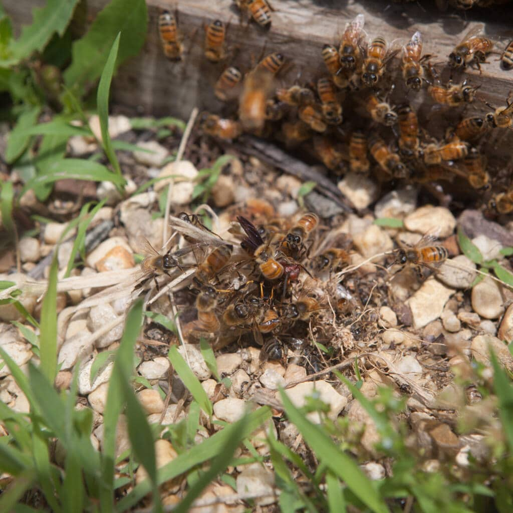 hornets versus honey bees where all the bees in the hive are ganging up on the hornet