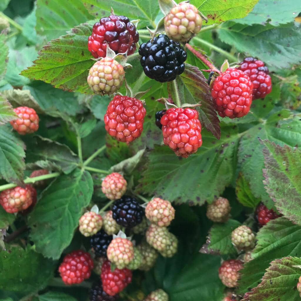 summer blackberries on the Eastern Shore
