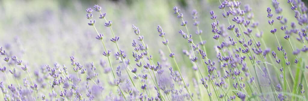 Bright photo of lavender