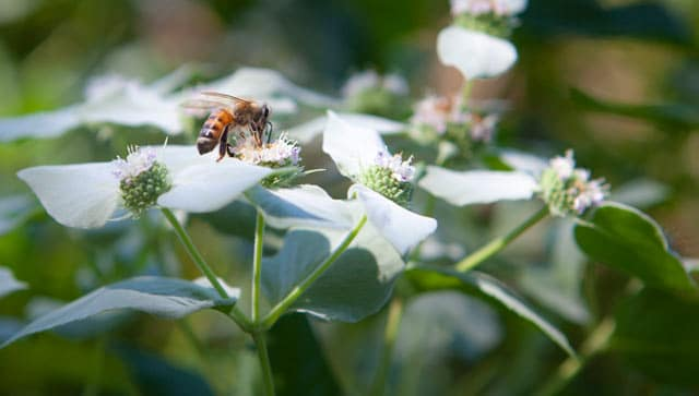 A honeybee foraging in our pollinator garden planted on 40 acres on Chesterhaven Beach Farm