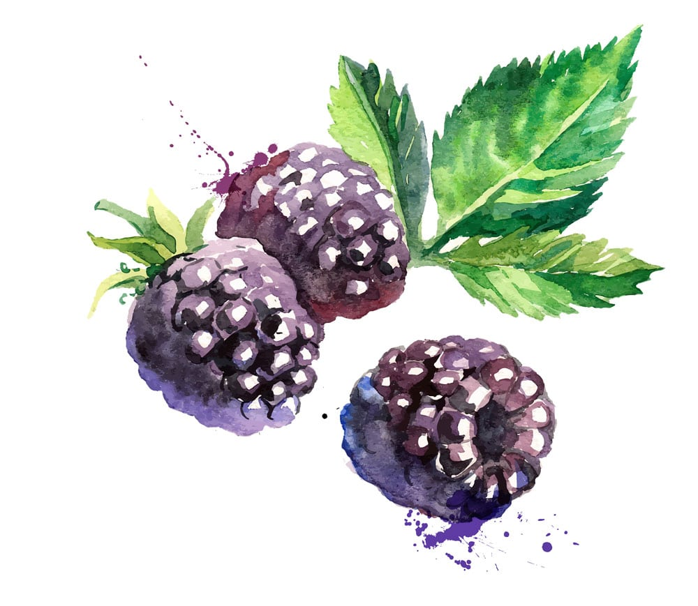 Blackberry watercolor painting featuring three blackberries and one blackberry leaf on white