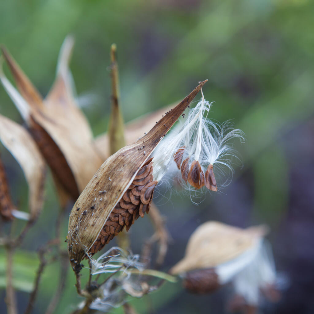 swamp milkweed going to seed