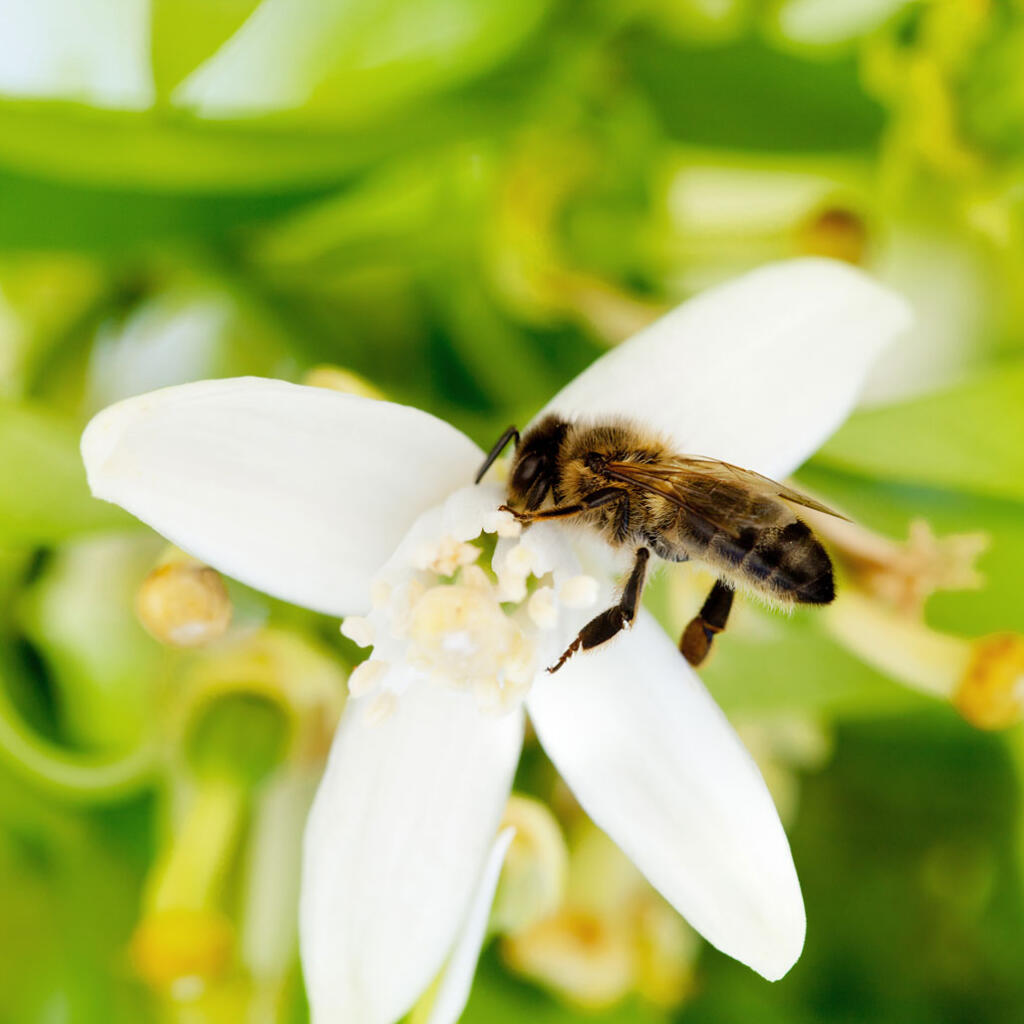 Orange season is in full swing when the bees start pollinating orange blossoms