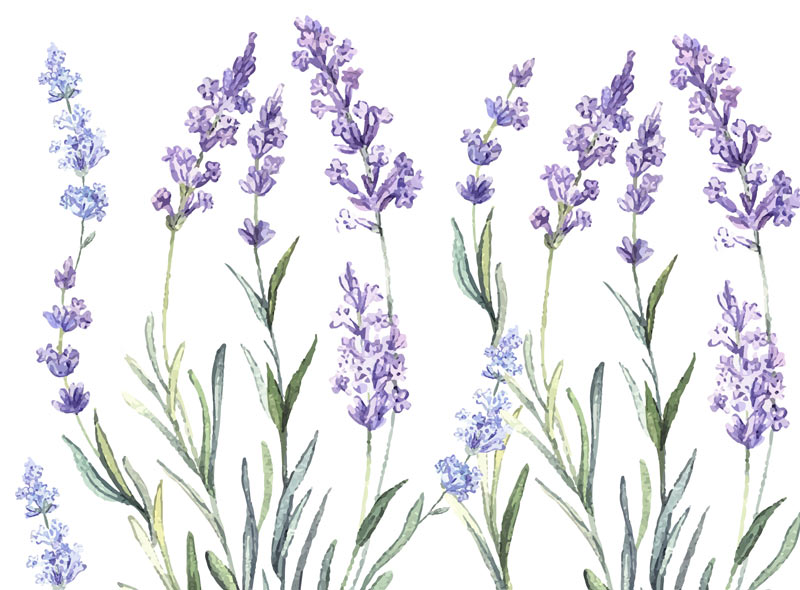 Watercolor illustration of lavender flowers
