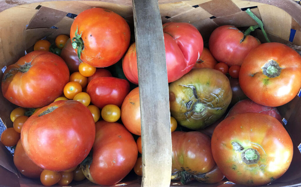 Basket of tomatoes from Joyce's garden in every size and every shape and every color
